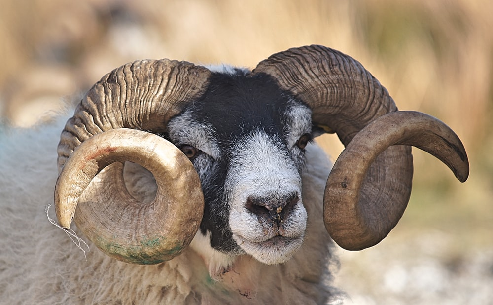 Ram to illustrate the article What are RAMS?